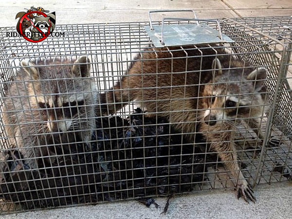 Two young raccons in a cage trap after being removed from a house in Signal Mountain Tennessee